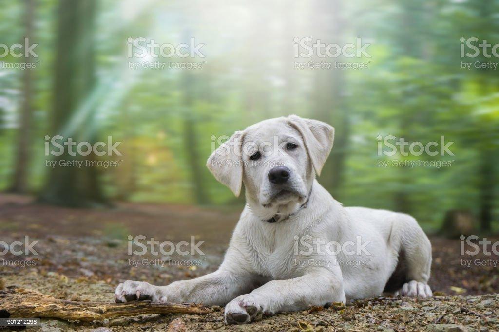 junge süße weiße Labrador Retriever Hund Welpe liegt auf dem Boden von den dunklen Zauberwald – Foto