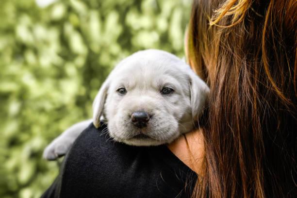 Junge süße weiße Labrador Retriever Hund Welpen auf der Schulter eines weiblichen Brünette Menschen suchen ziemlich süß – Foto