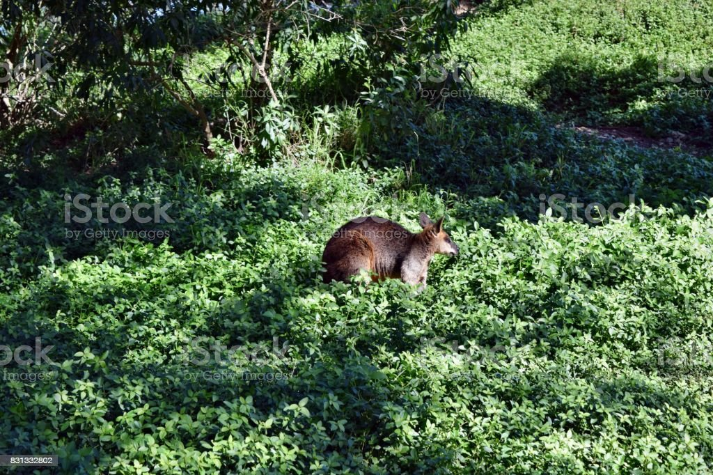 Young cute wild wallaby kangaroo on the grass stock photo