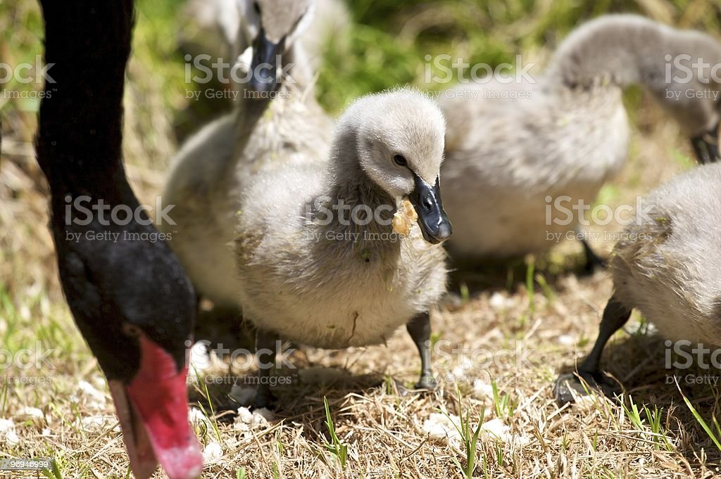 Young Cygnet royalty-free stock photo