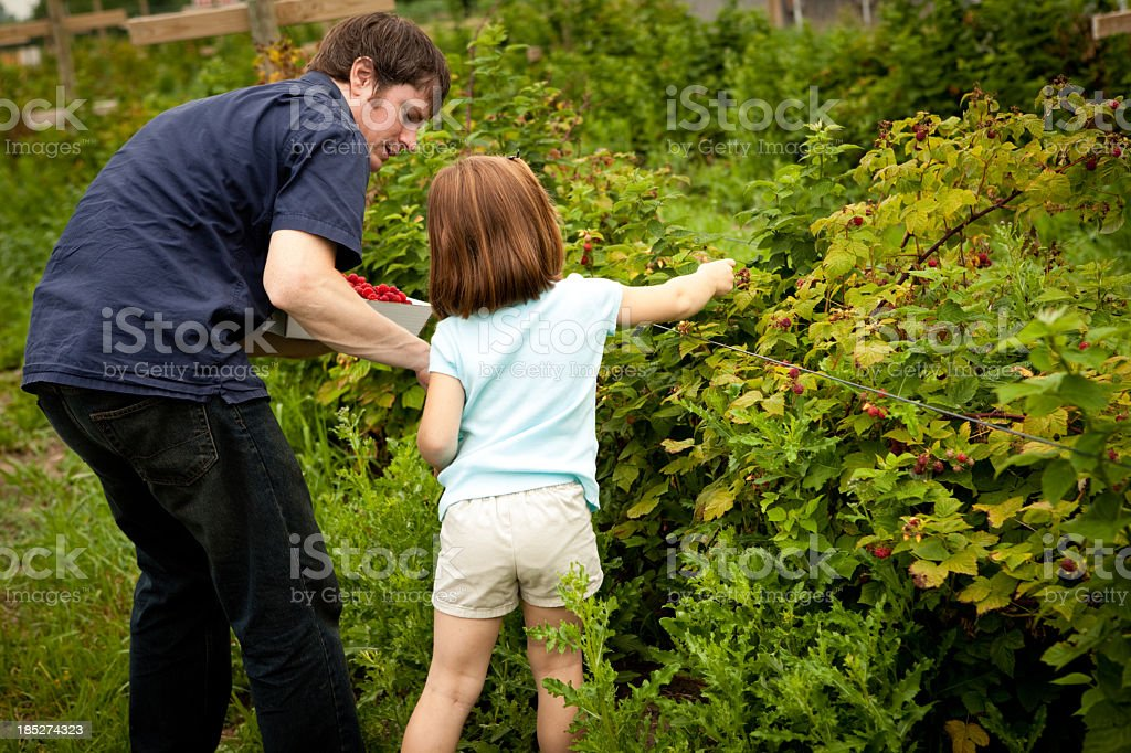 Young Dad Picking Raspberries With His Little Girl royalty-free stock photo