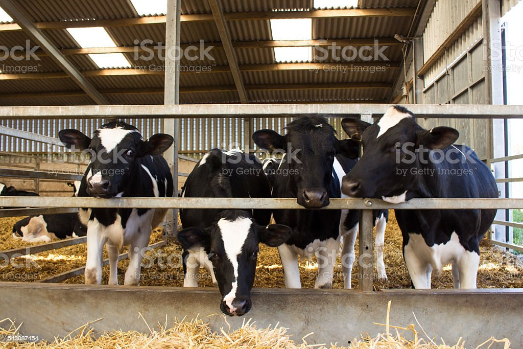 Young dairy heifers stock photo