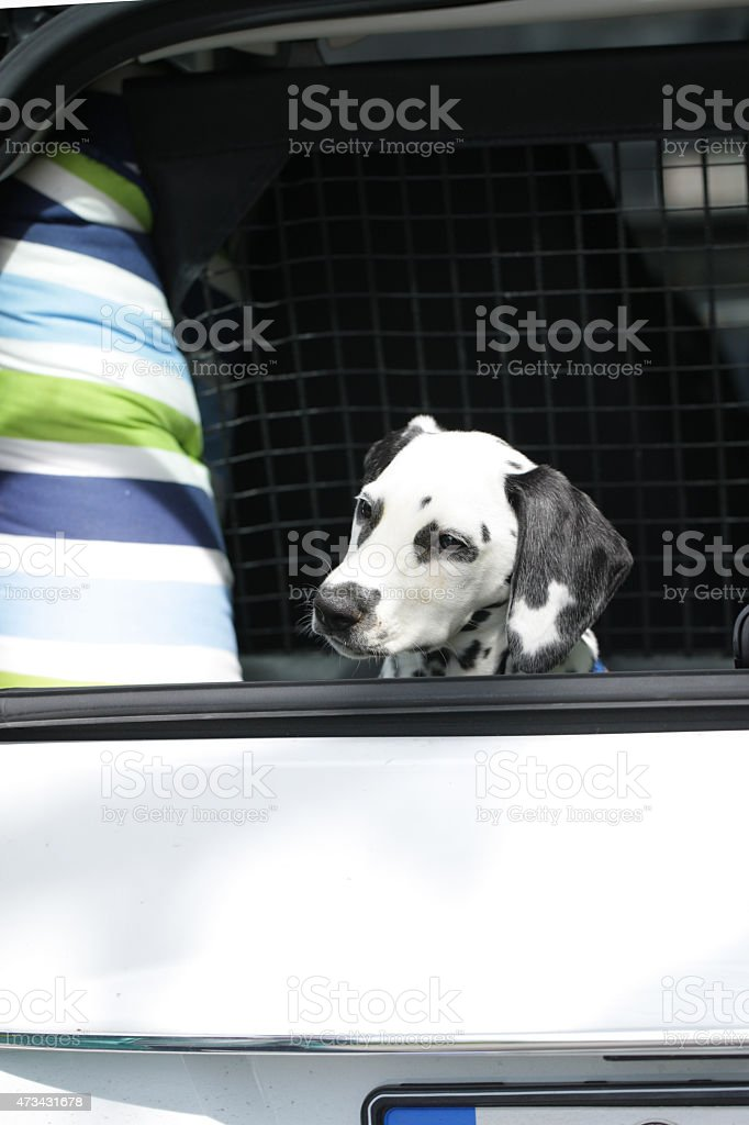 Young dalmatian sitting in car boot stock photo