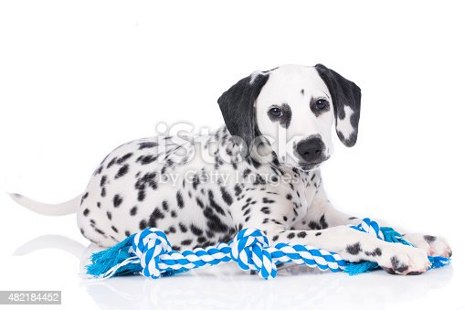 Young dalmatian with chewing toy isolated on white