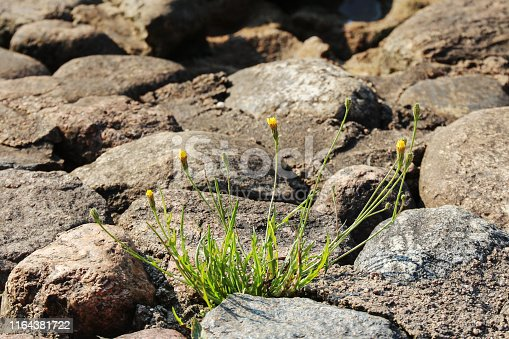 young dandelions grow among the stones on the pavement. development concept