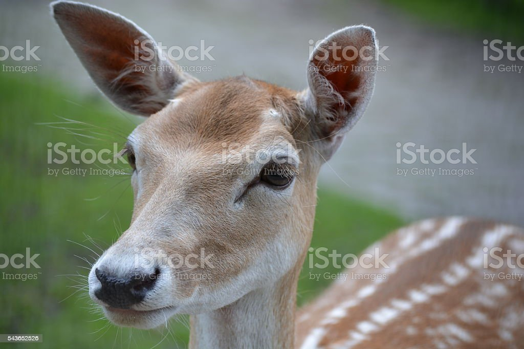 Young deer close-up stock photo