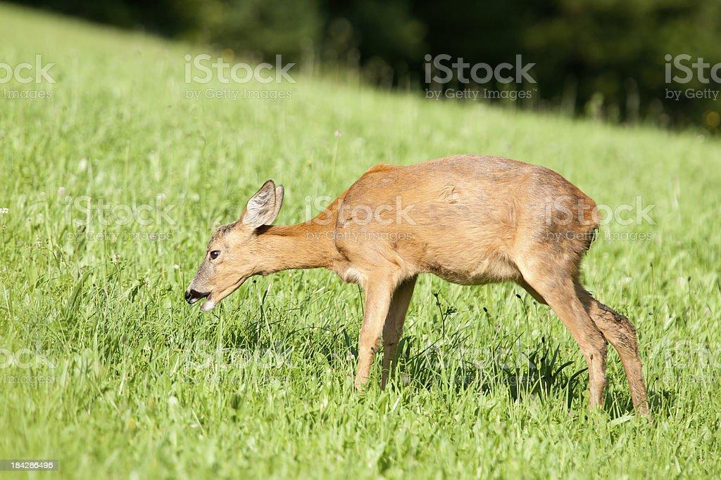 Junge Deer Essen in der Wiese (XXL – Foto
