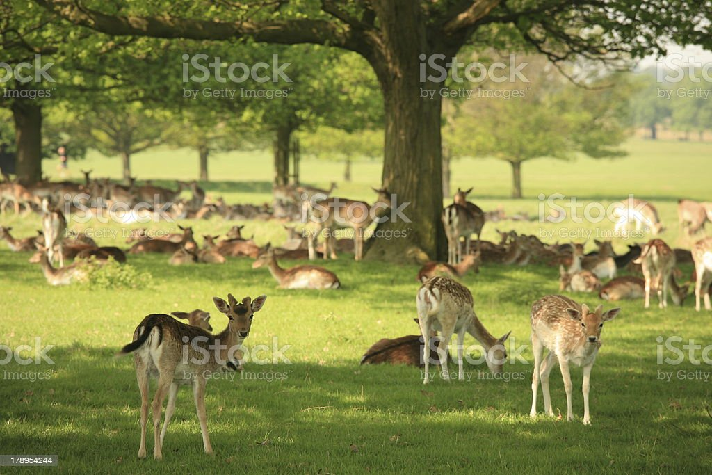 Young deer (fawns) in a park stock photo