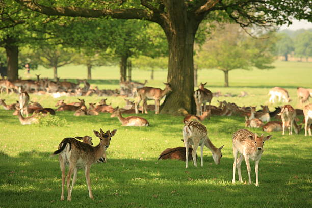 young deer (fawns) in a park - richmond park stock photos and pictures