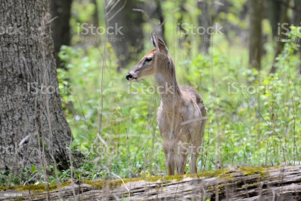 Young Deer in Profile royalty-free stock photo