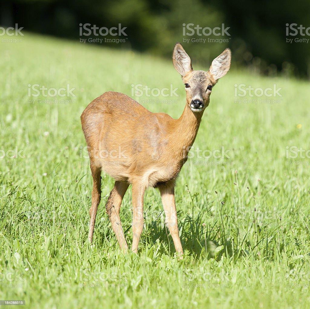 Junge Deer in der Wiese, – Foto