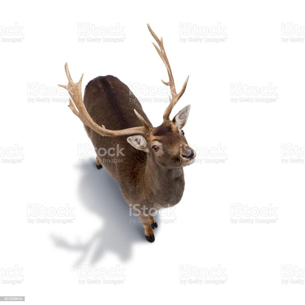 白い背景に分離された若い鹿 ストックフォト