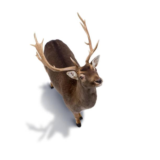 白い背景に分離された若い鹿 - トナカイ ストックフォトと画像