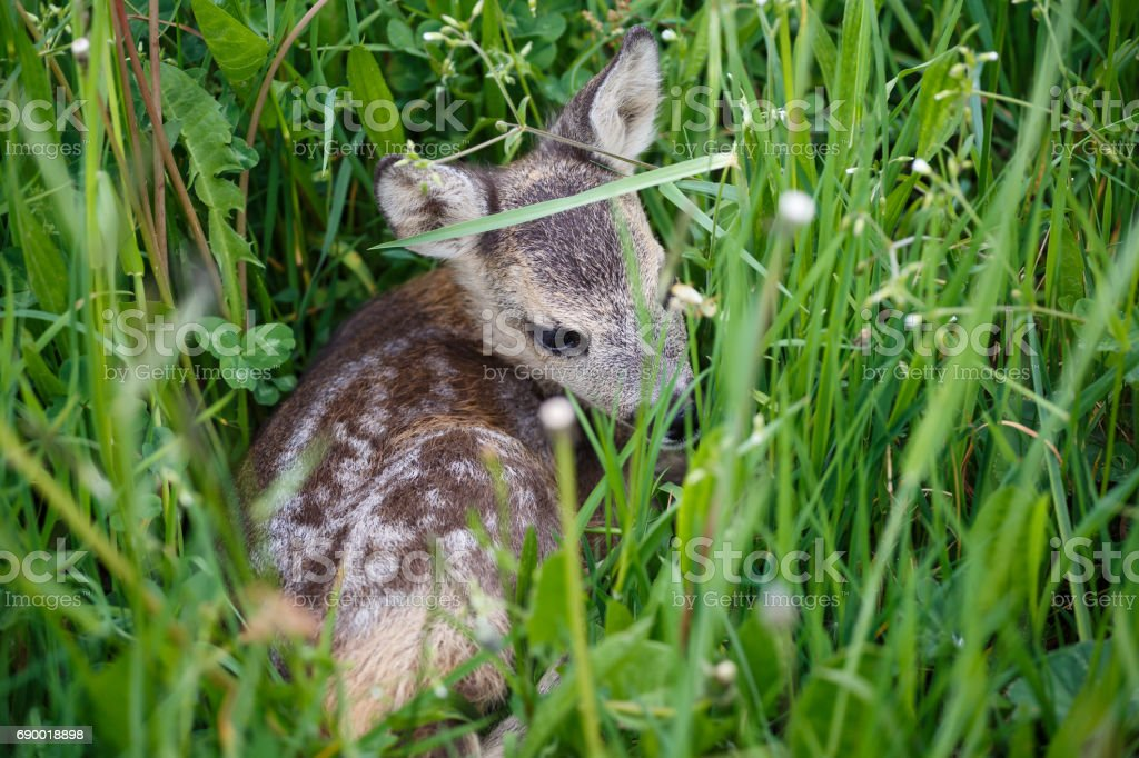 Young deer lying on a meadow. Summer fauna and flora.Wildlife. stock photo