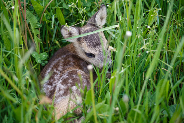 young deer lying on a meadow. summer fauna and flora.wildlife. - faon photos et images de collection