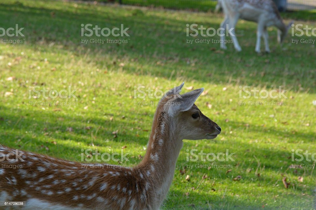Young deer on grass stock photo