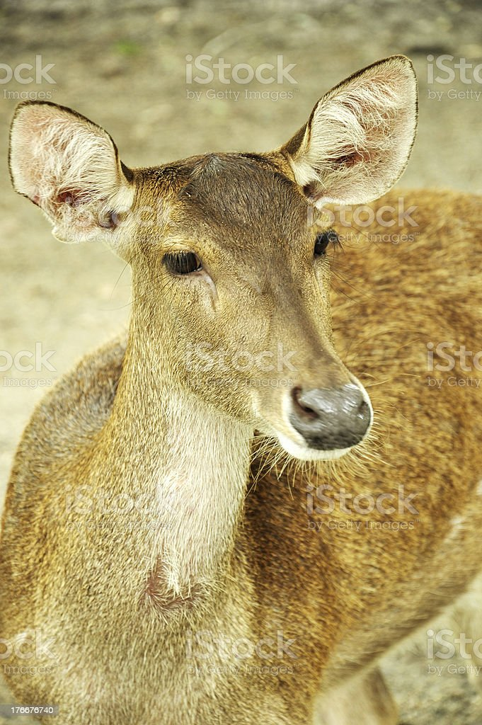Young Deer royalty-free stock photo