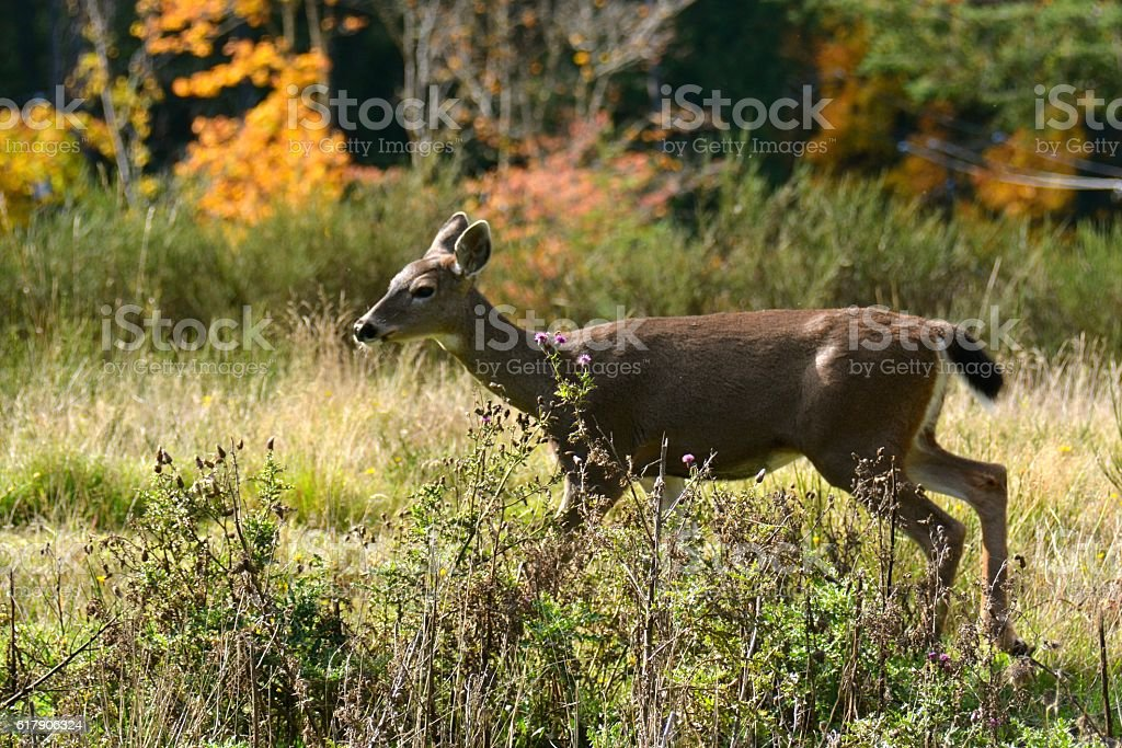 Young Deer stock photo