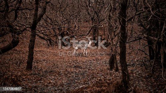 istock young deer standing 1247064927