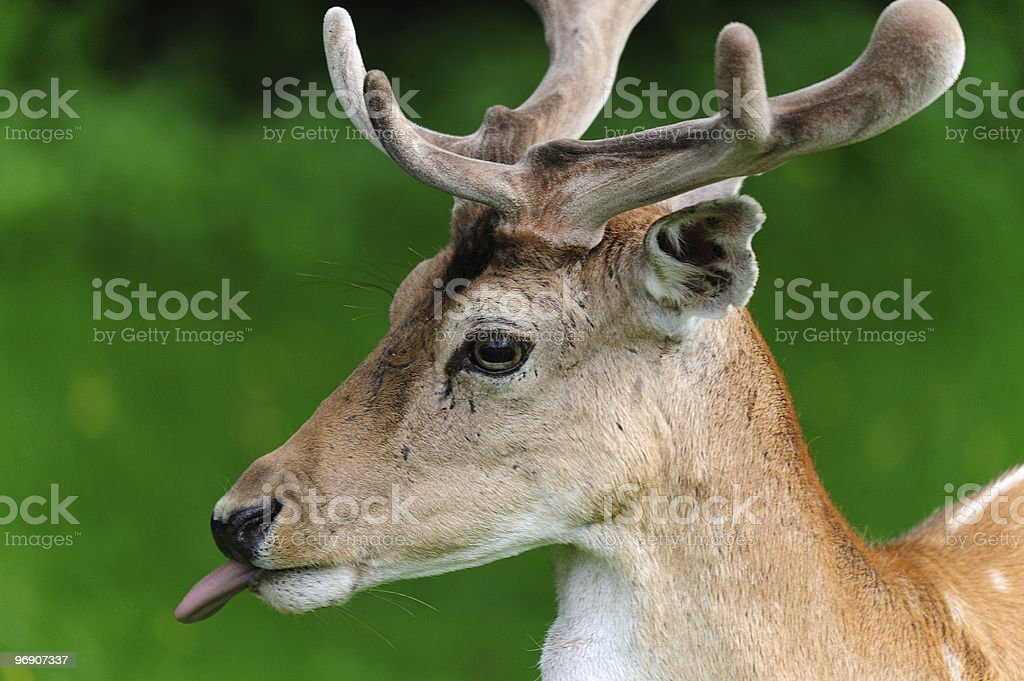 Young deer sticking out tongue royalty-free stock photo
