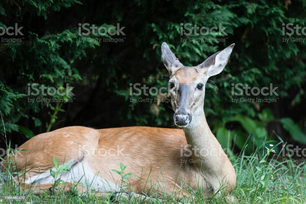 Young Deer with Maggots stock photo