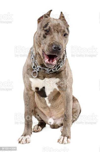 Young dog breed pitbull sitting yawning picture id910314356?b=1&k=6&m=910314356&s=612x612&h=afshanj 2ayedqyodn4am7t87acfnci3hh3xixw4oim=