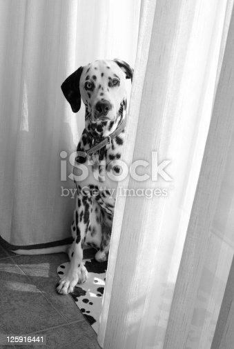 istock young dog dalmata sitting (b-n) 125916441