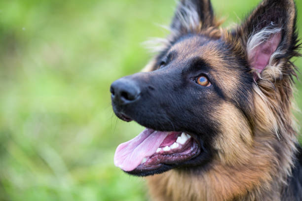 Young dog german shepherd on the grass - Photo