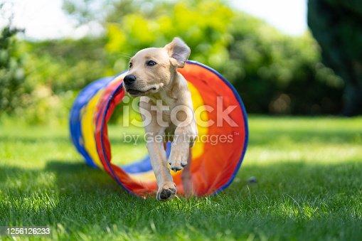 beige labrador puppy running through dog agility tunnel outdoors in garden on sunny summer day