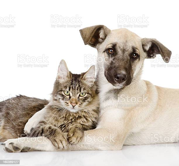 Young dog hugging a cat as friends in white background picture id160389127?b=1&k=6&m=160389127&s=612x612&h=tdm lidxatwabeeqesq7wcmtsowru1orz mnssejucs=