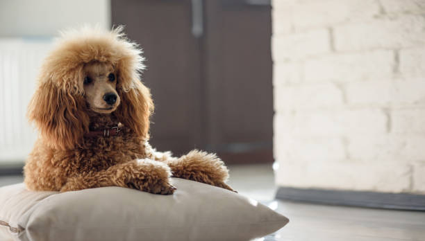 Young dog is resting at home . Young dog is resting at home . poodle stock pictures, royalty-free photos & images