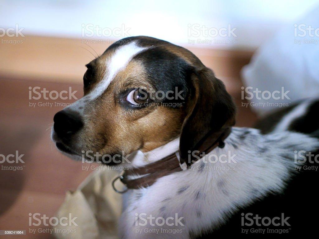 joven perro observando a mí foto de stock libre de derechos