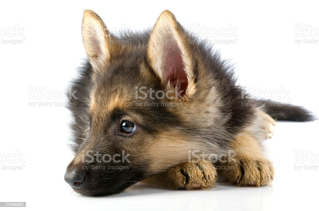 young dog royalty-free stock photo