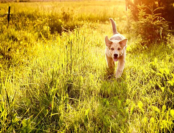 Young dog running in a meadow picture id149486651?b=1&k=6&m=149486651&s=612x612&w=0&h=hjhn7 sxf9rnr86 048dyw wumaqbdyxwamwuoyedhc=