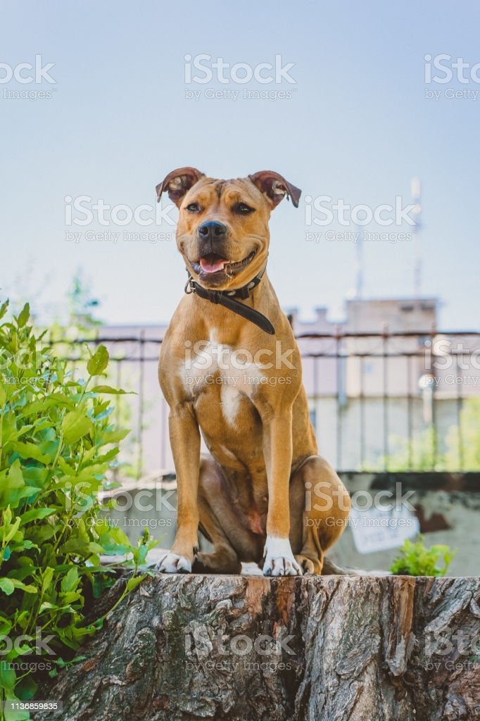Young dog Staffordshire terrier sits on a big stump laughing