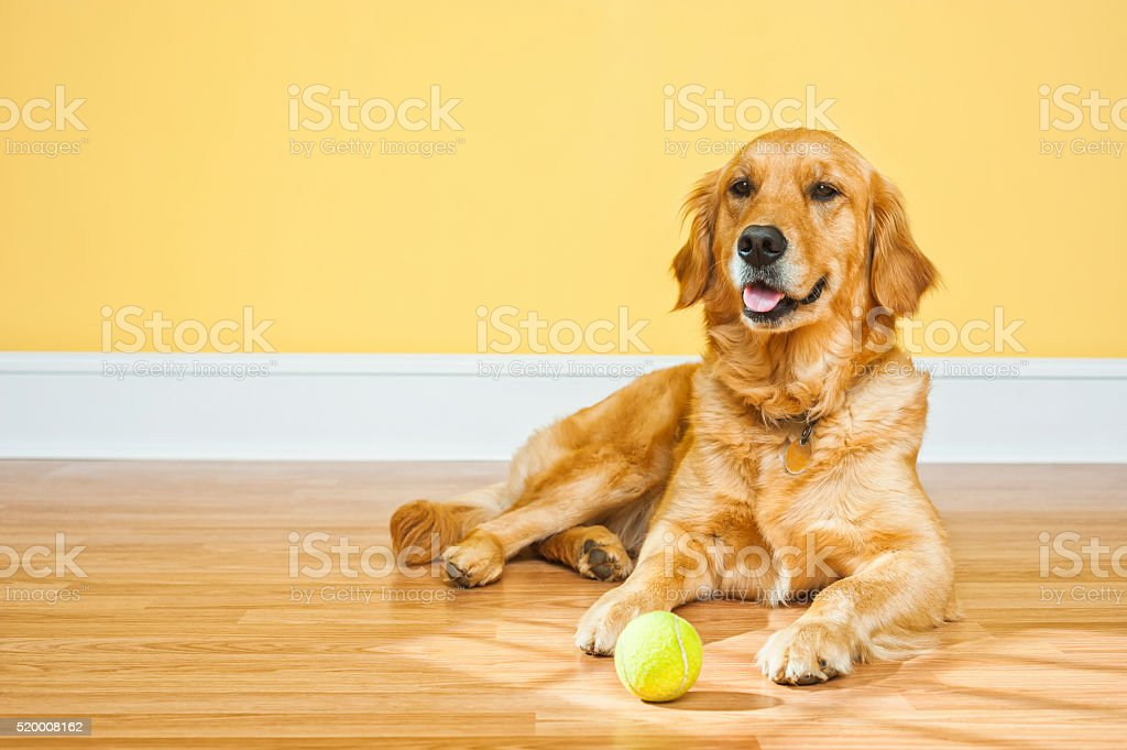Young dog waiting with ball to play fetch stock photo