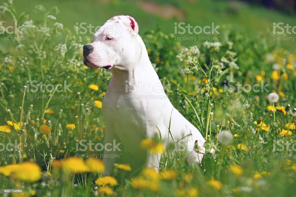Young Dogo Argentino dog with cropped ears sitting outdoors in dandelions stock photo