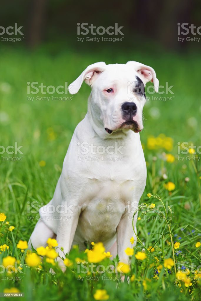 Young Dogo Argentino dog with natural ears sitting outdoors on a green grass with yellow flowers stock photo