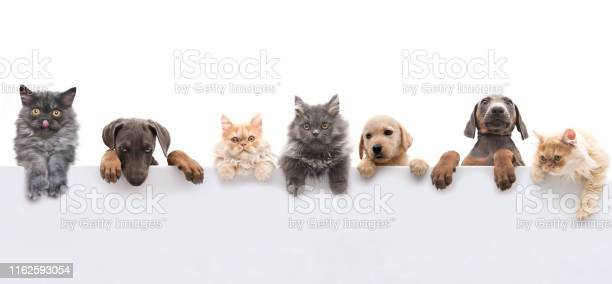 Young dogs and cats above grey banner picture id1162593054?b=1&k=6&m=1162593054&s=612x612&h=fapobq6x6sbddipywylq ycikkqdkvgp4zu yfhufha=