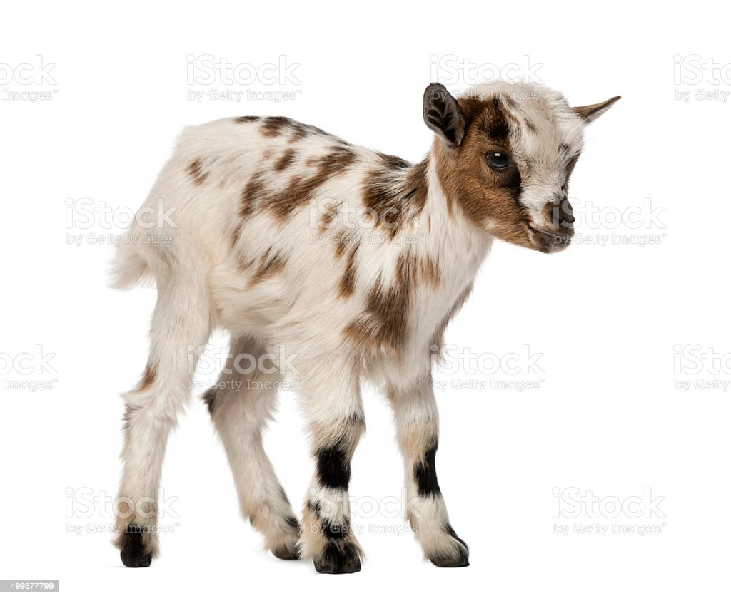 Young domestic goat, kid, isolated on white stock photo