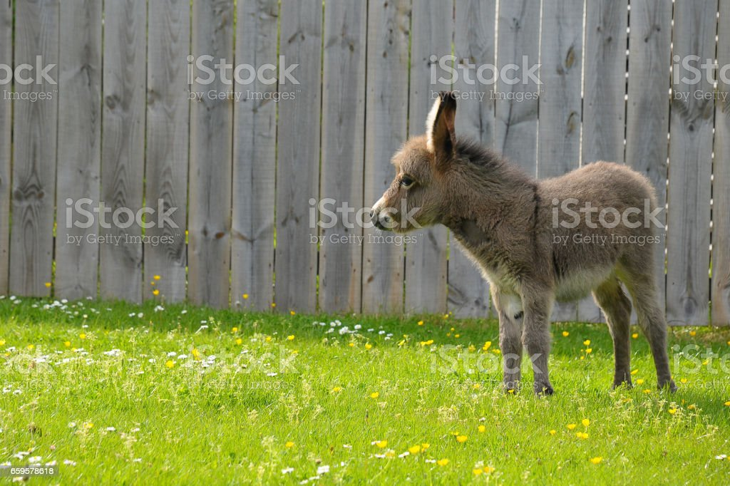 Ein junger Esel Fohlen im Feld – Foto
