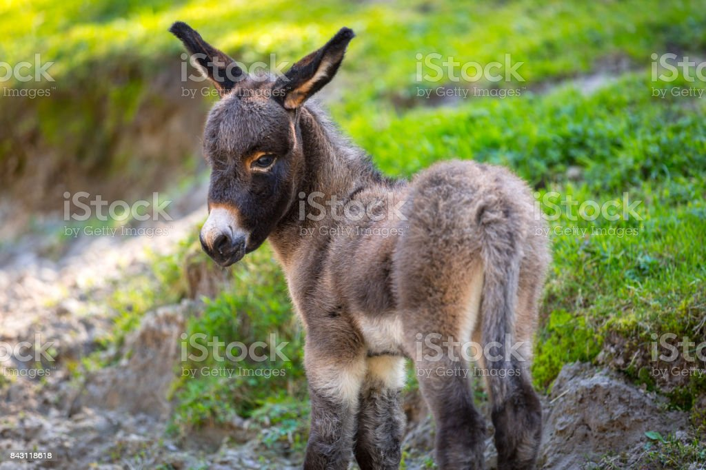 Young donkey stock photo