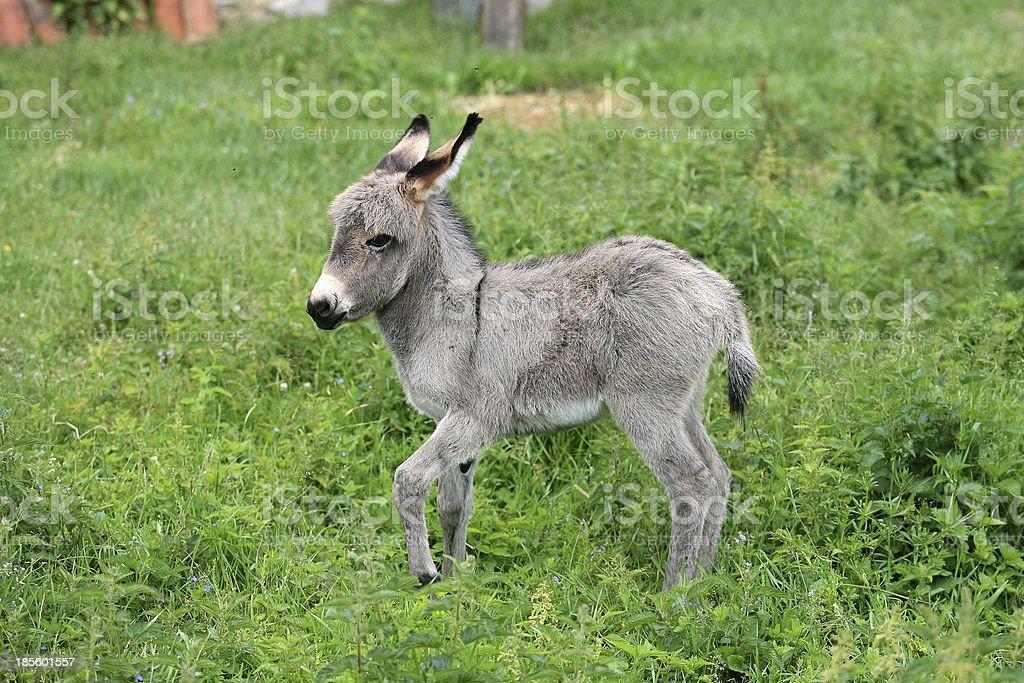 Junge Esel pics