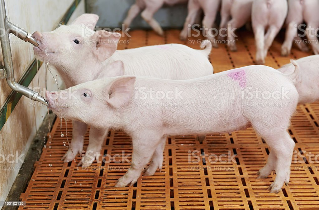young drinking piglet at pig farm stock photo