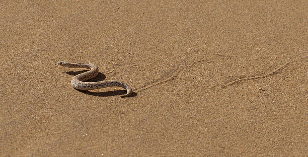 Young dune adder or sidewinder snake with trail stok fotoğrafı