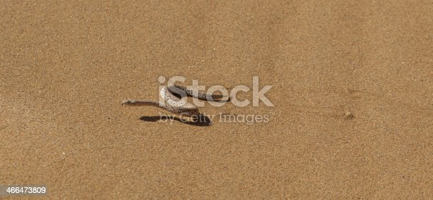 Young dune adder or sidewinder snake with trail in the Namib desert, Namibia