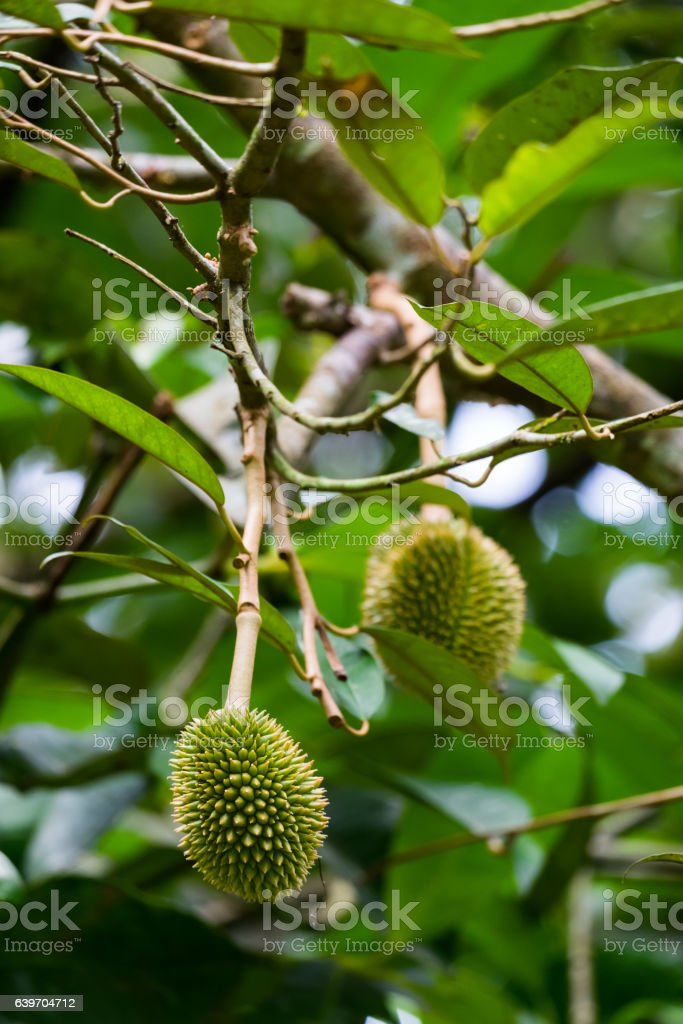 young durian stock photo