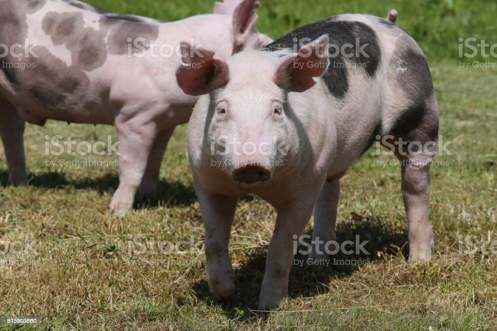 Young duroc breed pigs on farm field summertime stock photo