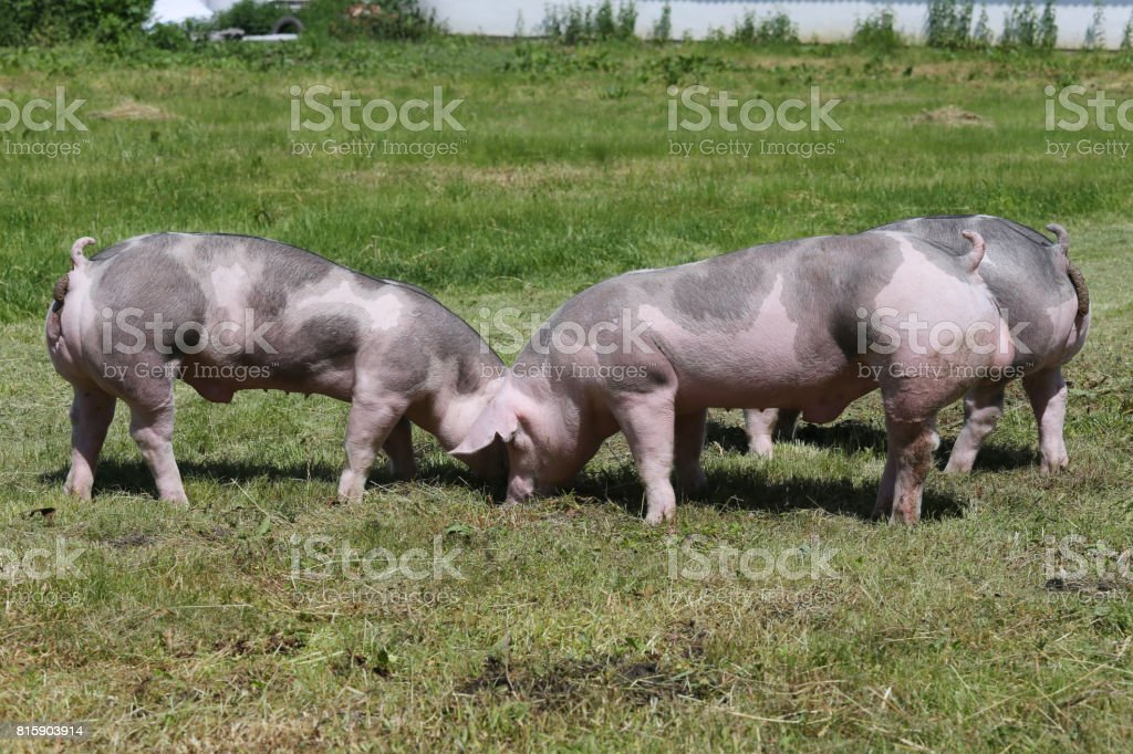 Young duroc pigs on the meadow at animal farm summertime stock photo