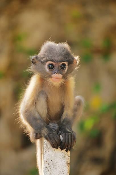 jovem folha mokey-do-crepúsculo - macaco - fotografias e filmes do acervo